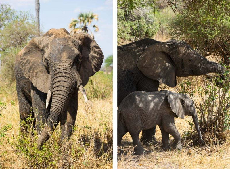 olifanten-tanzania