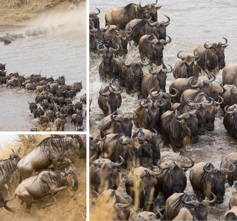 oversteek-wildebeesten