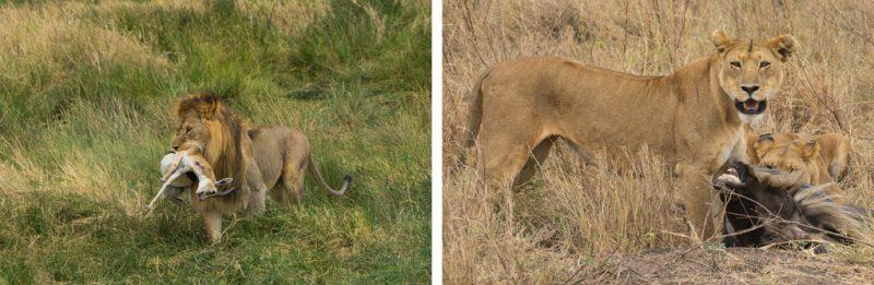 tanzania-leeuwen