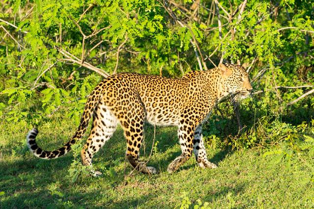 luipaard Yala National Park