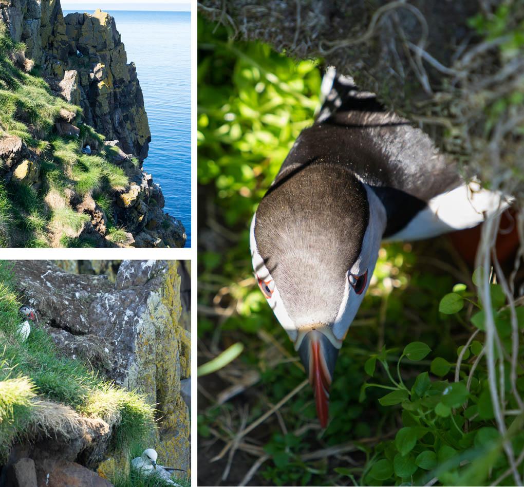 pufins IJsland