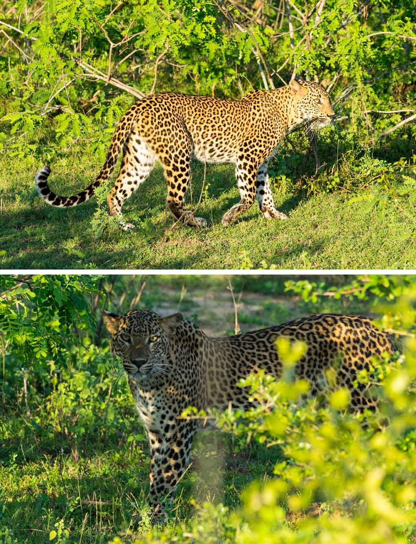 luipaard Yala