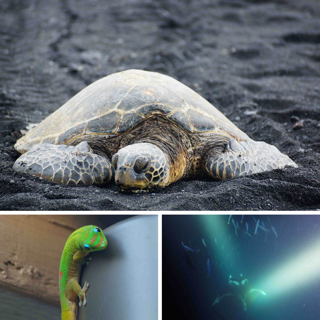 Hawaii schildpadden