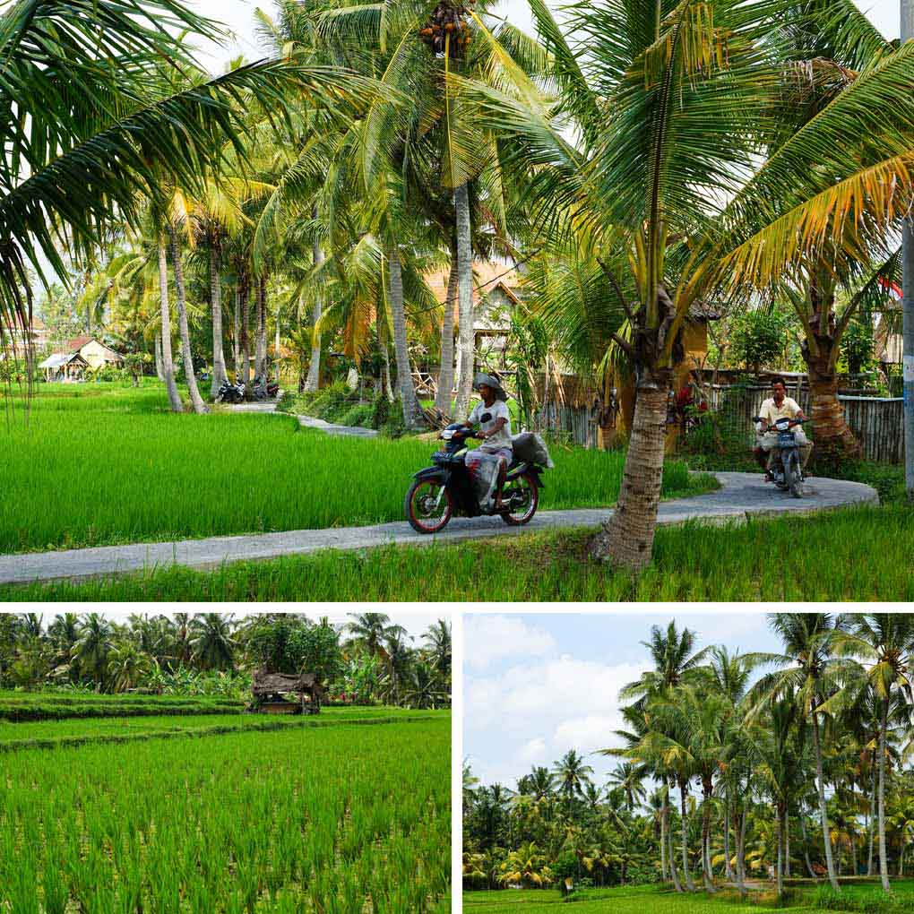 Ubud rijstvelden