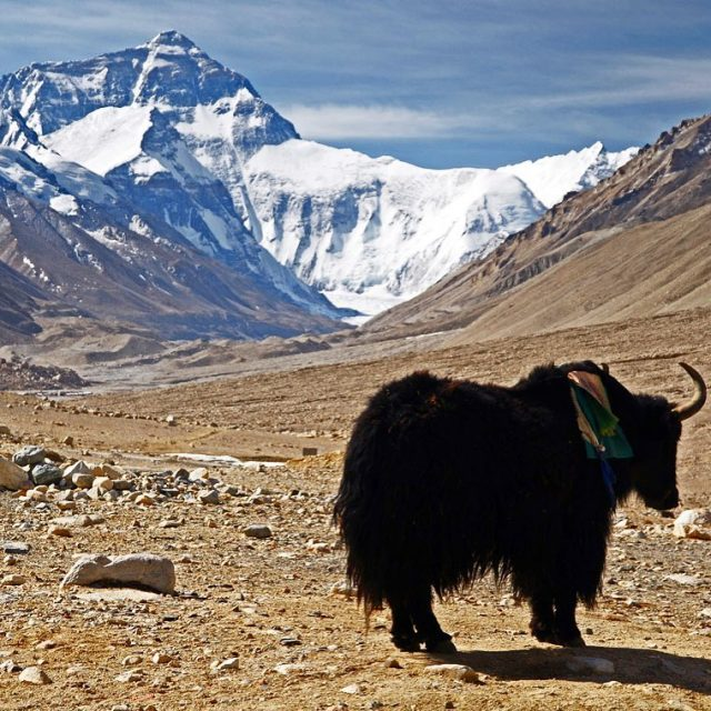 There it is Mount Everest! And a yak When wehellip