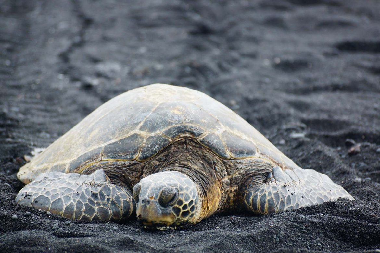 schildpad The Big Island